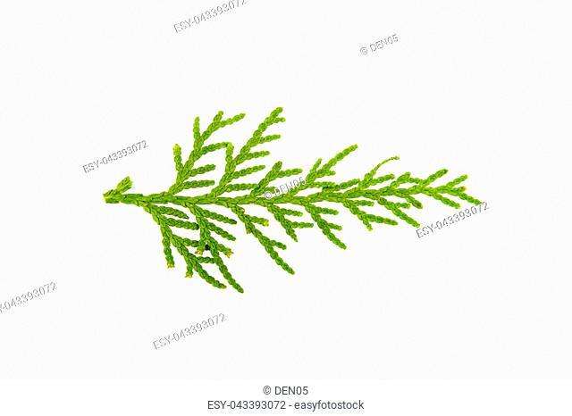 Sprig of juniper on white background