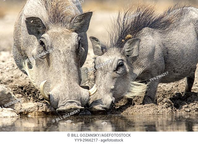 Common warthogs (Phacochoerus africanus) drinking at Onkolo Hide, Onguma Game Reserve, Namibia, Africa