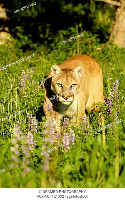 Cougar, Puma concolor, in spring meadow with lupines, Montana, USA