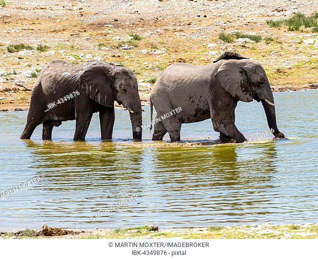 African bush elephants (Loxodonta africana) at waterhole, Okaukuejo, Etosha National Park, Namibia