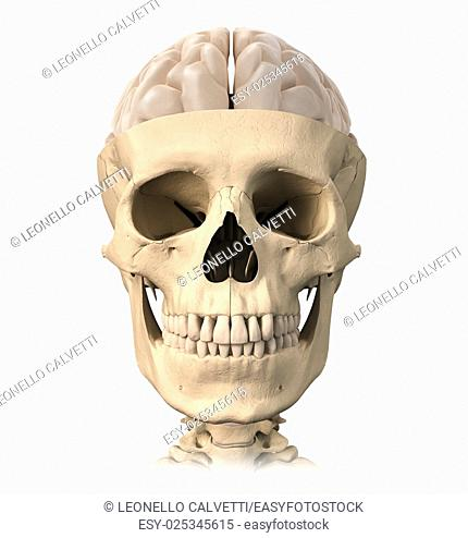 Very detailed and scientifically correct, Human skull cutaway, with half brain shown on top, front view. Anatomy image