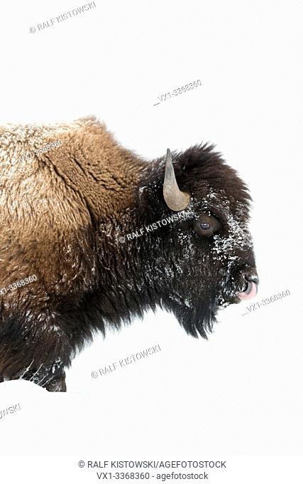 American bison / Amerikanischer Bison ( Bison bison ) in winter, mature bull, walking through deep snow, licking its nose, Yellowstone National Park, Wyoming