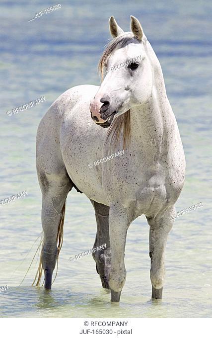 Arabian horse - standing in water