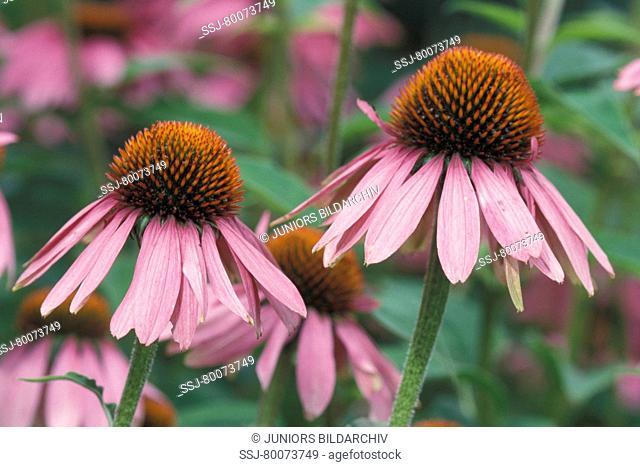DEU, 2004: Purple Cone Flower (Echinacea angustifolia), flowers