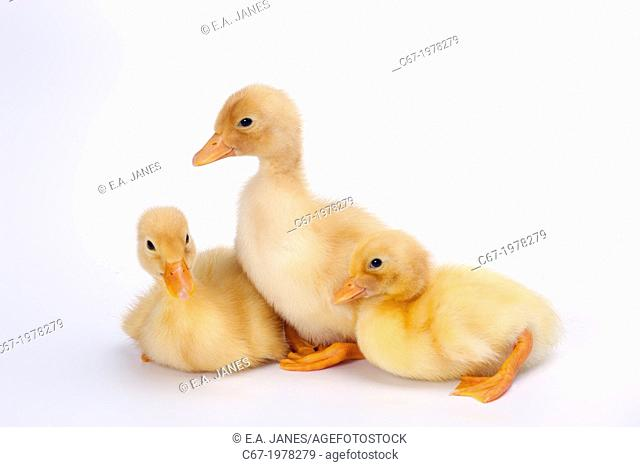 Four Newly Hatched Ducklings