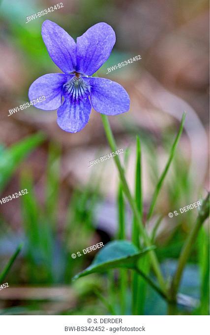 violet (Viola spec.), flower, Germany, Bavaria, Oberbayern, Upper Bavaria