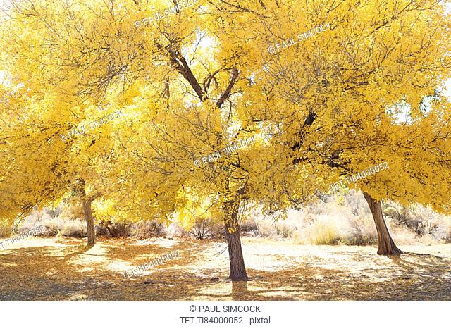 USA, California, Hope Valley, Trees with yellow leaves