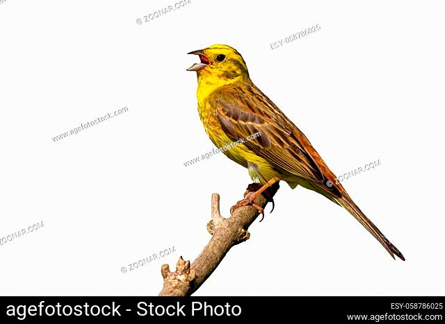 Yellowhammer, emberiza citrinella, singing on wood isolated on white background. Feathered animal with open beak on branch with copy space