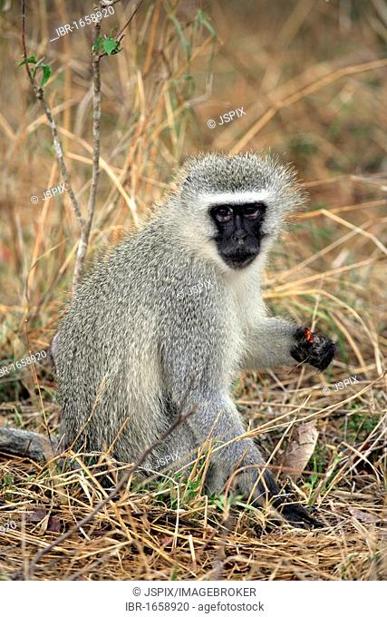 Vervet Monkey, Grivet Monkey (Cercopithecus aethiops), female adult, Kruger National Park, South Africa, Africa