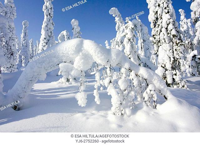 Snow covered trees, Vuokatti Sotkamo Finland
