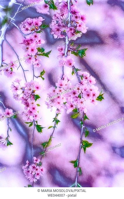 Cherry Blossom. Prunus serrulata, cherry. April. Maryland, USA