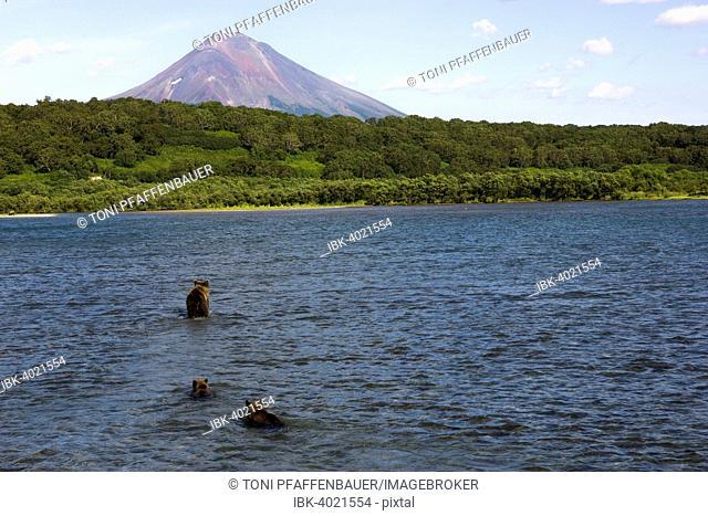 Brown bear (Ursus arctos), brown bear family, Ilyinsky volcano in back, Kamchatka, Russia