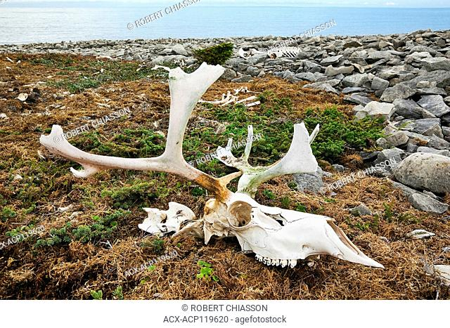 Bleached caribou skull and antlers on bed of moss near a rocky beach at Dog Peninsula in Bird Cove, Western Newfoundland, Canada