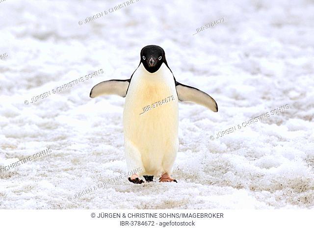 Adélie Penguin (Pygoscelis adeliae), adult walking in the snow, Devil Island, Antarctica
