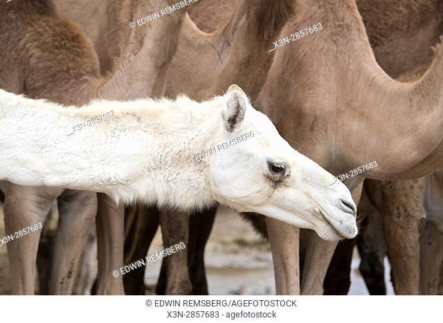 A white camel at the Al Ain Camel Market, Abu Dhabi, UAE
