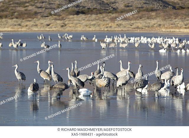USA, New Mexico, Bosque del Apache National Wildlife Refuge, Greater Sandhill Cranes (Grus Canadensis Tabida), grey color