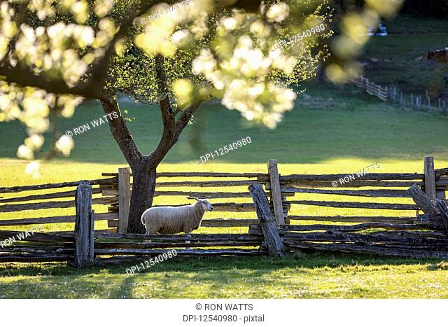 A lone sheep heads for pasture under apple blossums on the farm of Ruckle Provincial Park; Salt Spring Island, British Columbia, Canada