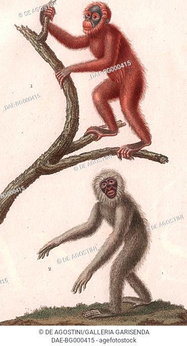 1 Orangutan (genus Pongo), 2 Silvery gibbon (Hylobates moloch), colour copper engraving, retouched in watercolour, 9x15 cm