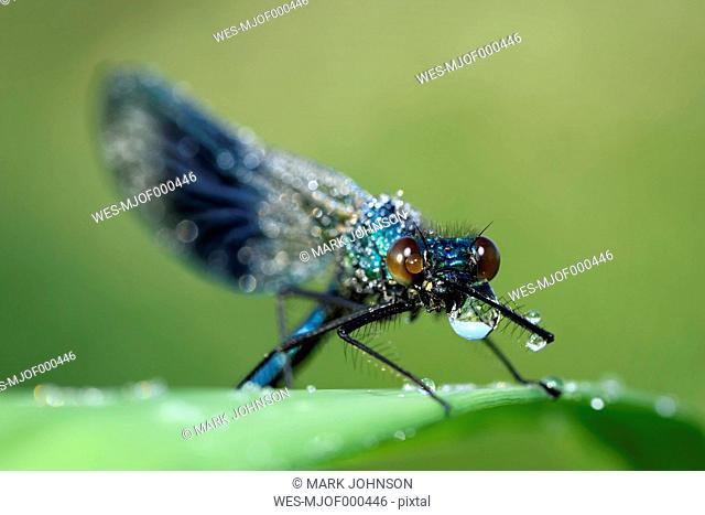 Wet banded demoiselle, Calopteryx splendens