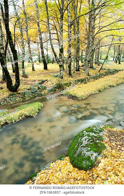 Birch forest with river at Estrela Mountain Natural Park, Portugal