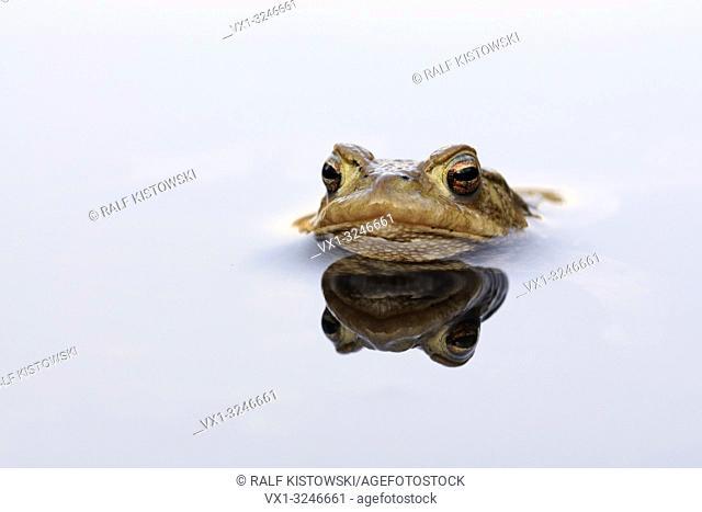 Common Toad / Erdkroete ( Bufo bufo ) while spawning season, floating, waiting for its mate, mirroring on calm water surface