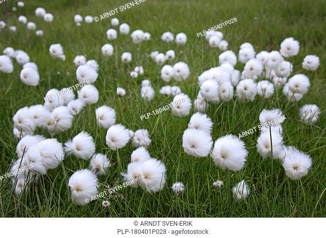 Polar White Cottongrass / Arctic cottongrass (Eriophorum scheuchzeri ssp. arcticum) showing white seed heads in a bog, Svalbard / Spitsbergen