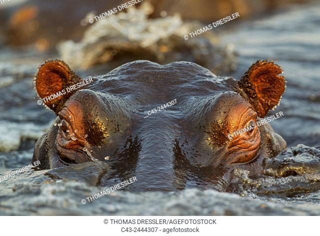 Hippopotamus (Hippopotamus amphibius) - Close-up. In the the Chobe River. Photographed from a boat. Chobe National Park, Botswana