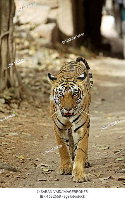 Tiger (Panthera tigris), walking on jungle road, Ranthambore National Park, Rajasthan, India, Asia