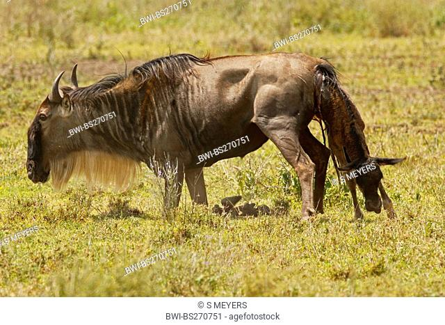 Eastern White-bearded Wildebeest Connochaetes taurinus albojubatus, birth of a gnu, Tanzania, Ngorongoro Conservation Area
