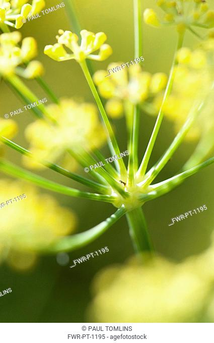 Apiaceae, Apiaceae Umbelliferae, close up showing umbellifer shape
