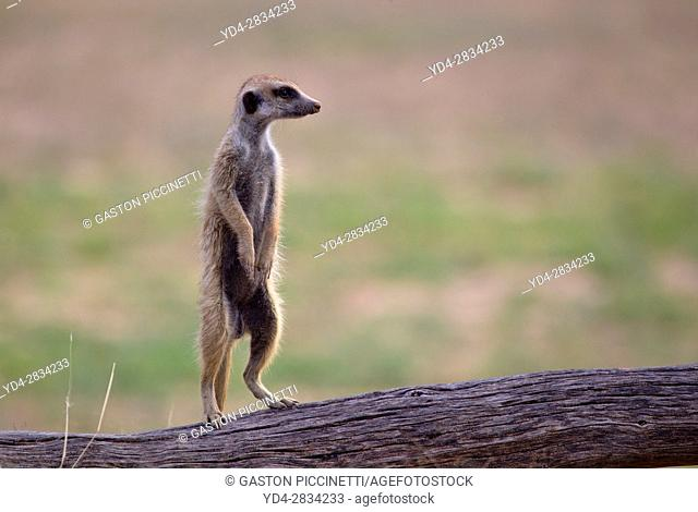 Suricate (Suricata suricatta), alert to the possible attack of a predator. While watching the rest of the group is dedicated to hunt all kinds of insects