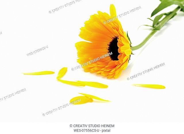 Marigold flower, Calendula Officinalis, close-up