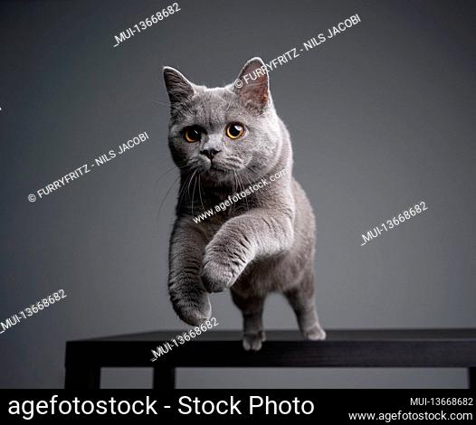 playful 6 month old blue british shorthair kitten jumping off a table on gray background with copy space