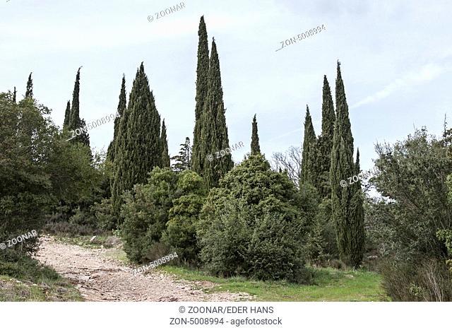 Bizarrer Zypressenwald in der Toskana