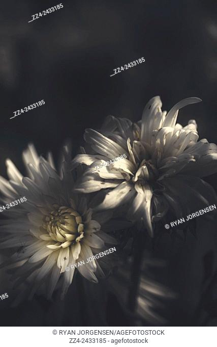 Fine artwork on two dahlia flowers captured in the darkness of night with light rays hitting their while petals, one withering, the other in full bloom