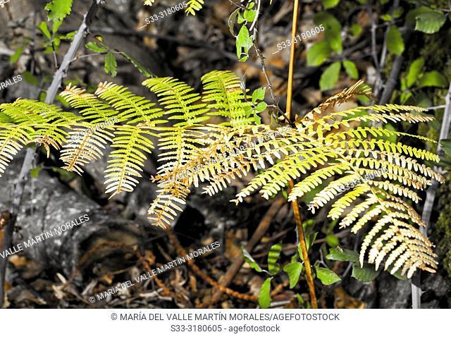 Fern (Filicopsida) in Autumn time. Avila. Spain