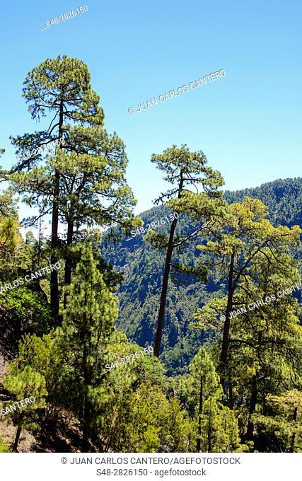 Bosque de pinos canarios en La Palma. Islas Canarias. España. Europa