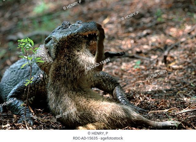 American Alligator eating Raccoon Texas USA Alligator mississippiensis