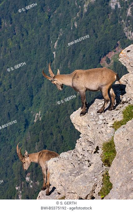 Alpine ibex (Capra ibex, Capra ibex ibex), two young ibexes stand on ledges and look into the valley, Switzerland, Toggenburg, Chaeserrugg