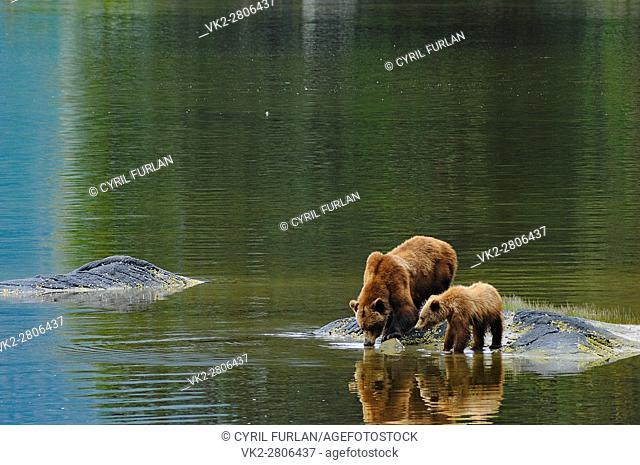 Grizzly Drinking Water Wrangell Bear Preserve Alaska