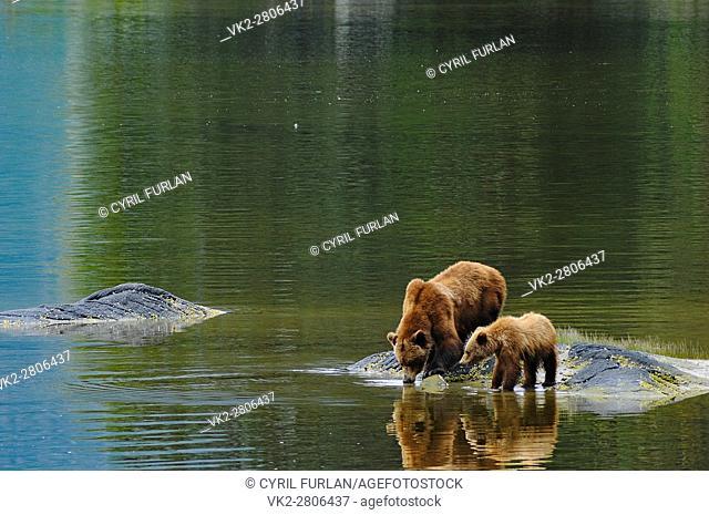 Grizzly Drinking Water Wrangell Bear Preserve Alaska