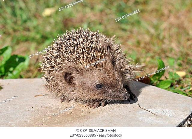 Hedgehog mammal