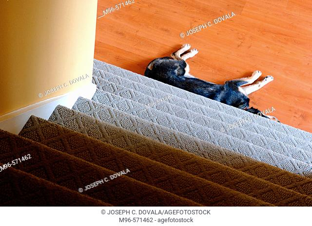 Sheppard mix dog sleeping at bottom of stairs