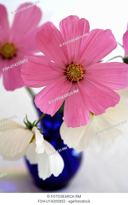 Close up of pink and white cosmos in blue vase
