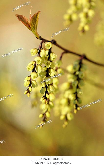 Hazel, Fragrant winter hazel, Corylopsis glabrescens, Close side view of twigs with dangling racemes of cream bell shaped flowers
