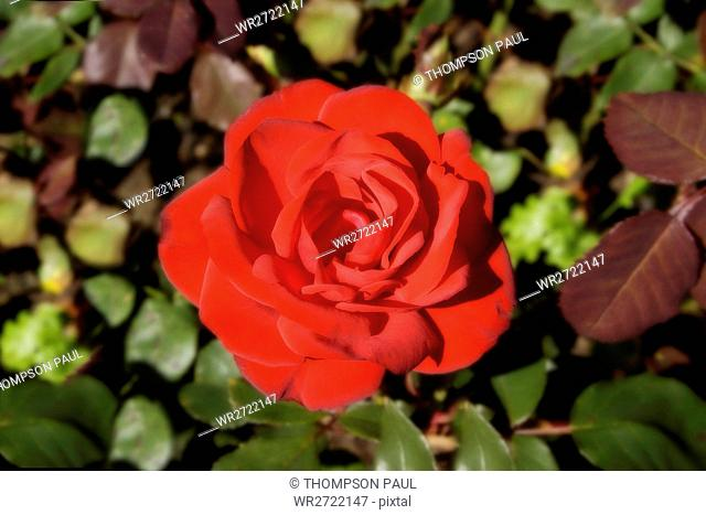 90900144, Roses, red, rose, flower, flowers, plant