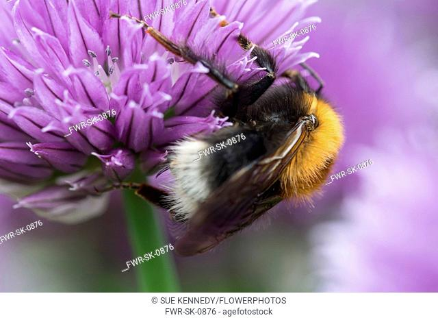 Chive, Allium schoenoprasum, Tree Bumble Bee, Bombus hypnorum, feeding on flower in a garden border