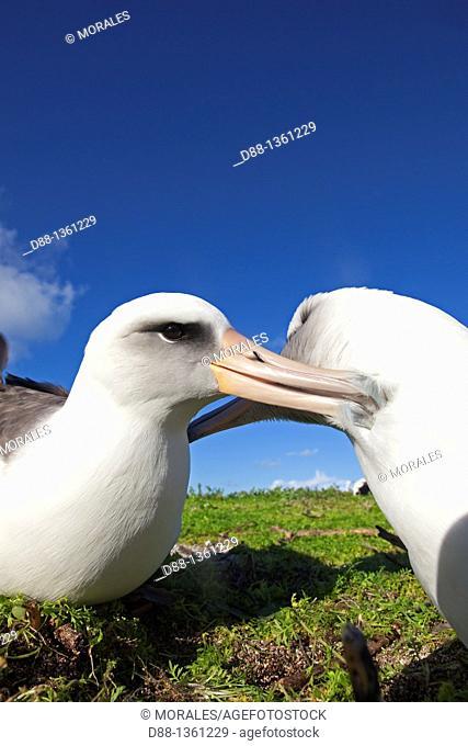 Laysan Albatross (Phoebastria immutabilis), Midway Atoll National Wildlife Refuge, Sand Island, Hawaii, USA