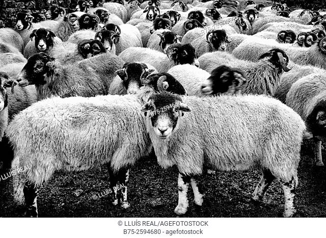 Group of lambs looking at the camera. Yorkshire Dales National Park, North Yorkshire, England, UK, Europe