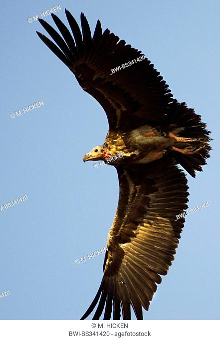 Red-headed Vulture, Asian King Vulture, Indian Black Vulture, Pondicherry Vulture (Sarcogyps calvus), in flight, India, Madhya Pradesh